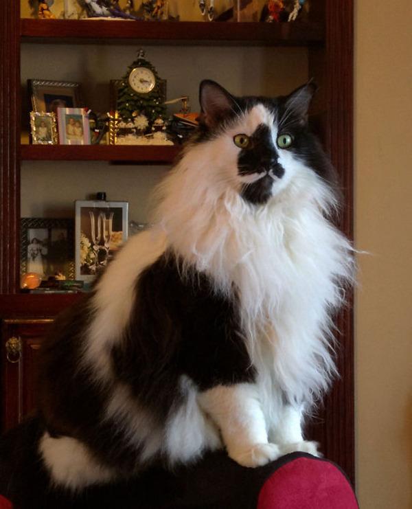 綿菓子フワフワ!モフモフしたくなる長毛種の猫画像 (32)