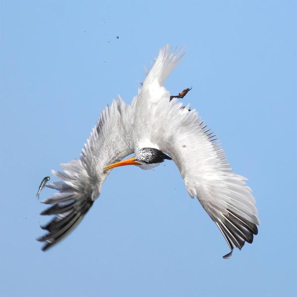 もう逃げられない…!鳥が魚をパックリ食べちゃう瞬間的画像 (10)