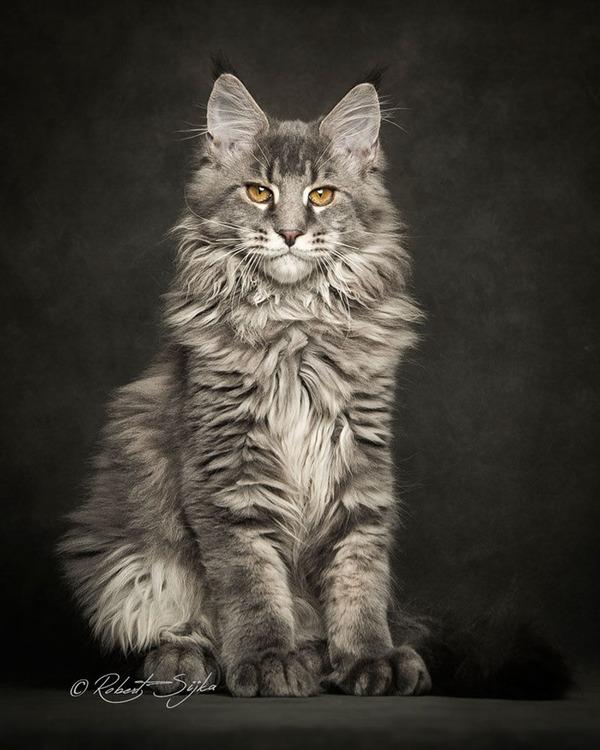 メインクーン画像!気品ある毛並みに威厳ある風貌の猫 (11)