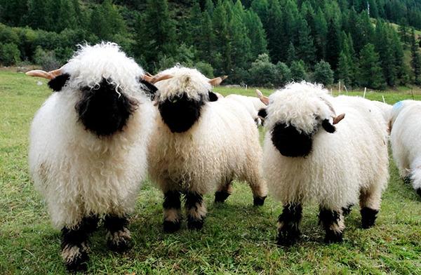 ヴァレーブラックノーズシープ!モフモフな羊 (19)