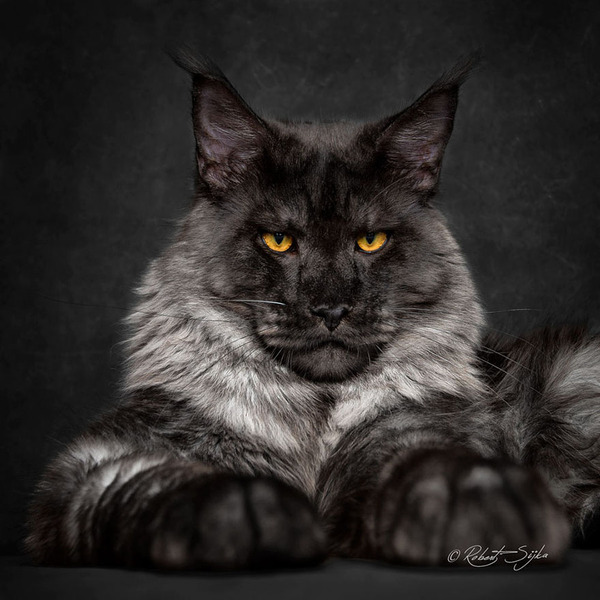 メインクーン画像!気品ある毛並みに威厳ある風貌の猫 (13)