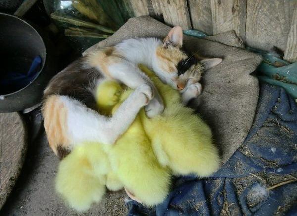 猫とアヒルの子のお昼寝