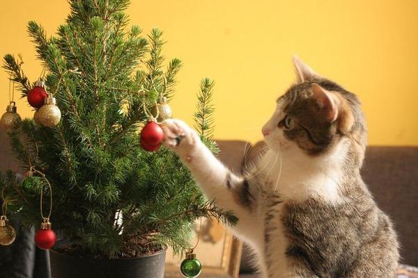 猫、あらぶる!クリスマスツリーに登る猫画像 (42)