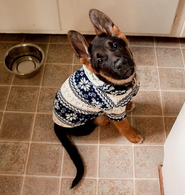 寒いからニットのセーターを小動物に着せてみた画像 (8)