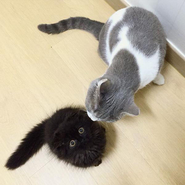 「まっくろくろすけ」みたいな黒猫画像!黒いモフモフ (14)