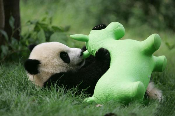 かわいいジャイアントパンダの画像 15