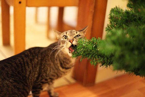 猫、あらぶる!クリスマスツリーに登る猫画像 (52)