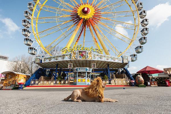 ライオン…の格好をしたわんこが街をさまよい歩く!【犬画像】 (7)