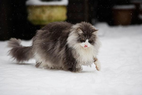 でかすぎる!大型のイエネコ長毛種メインクーン画像【猫】 (38)