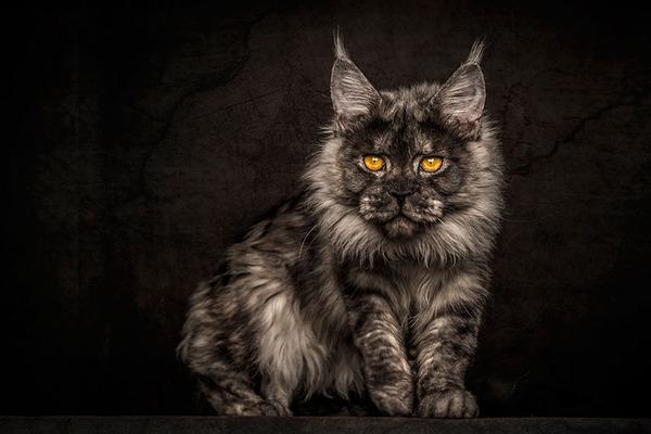 メインクーン画像!気品ある毛並みに威厳ある風貌の猫 (25)