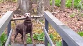 枝を咥えたまま橋を渡れない犬の運命や如何に!結末はこの後すぐ!