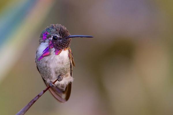 ハチドリ、可愛い、美しい小鳥の写真 (4)