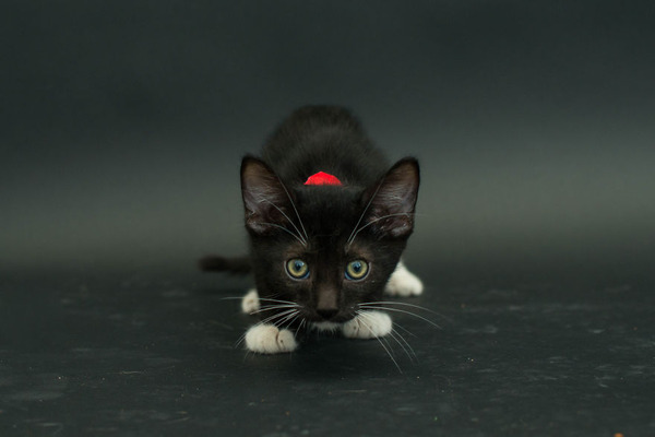 アメリカのアニマルシェルターで里親を待つ黒猫たちの写真 (1)
