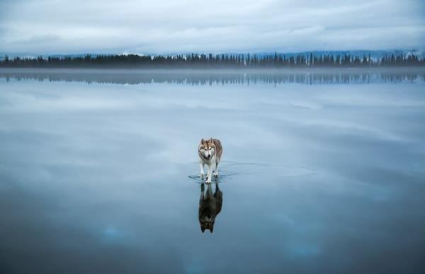 凍った湖を歩くシベリアンハスキー 2