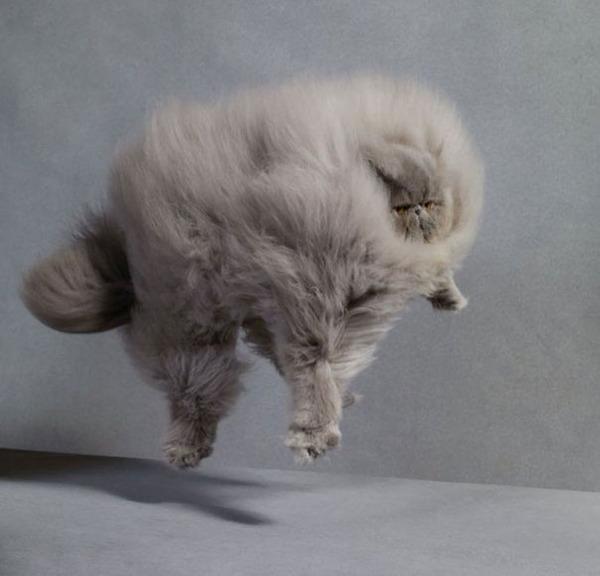 綿菓子フワフワ!モフモフしたくなる長毛種の猫画像 (15)