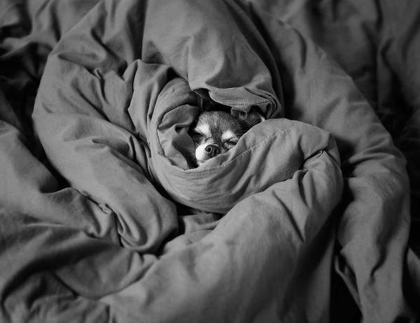 ベッドで寝る犬 かわいいおもしろ画像 24