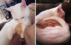 超仲良しなんだぜ!2匹は友達。ネコとフトアゴヒゲトカゲ