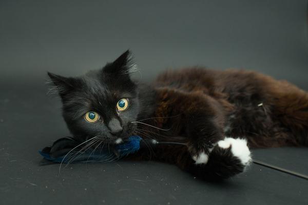 アメリカのアニマルシェルターで里親を待つ黒猫たちの写真 (10)