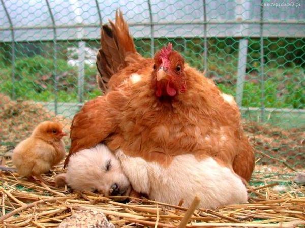 犬と鶏のお昼寝