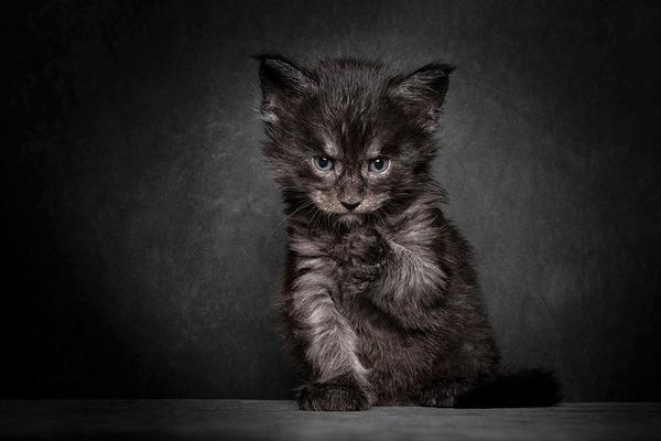 メインクーン画像!気品ある毛並みに威厳ある風貌の猫 (18)