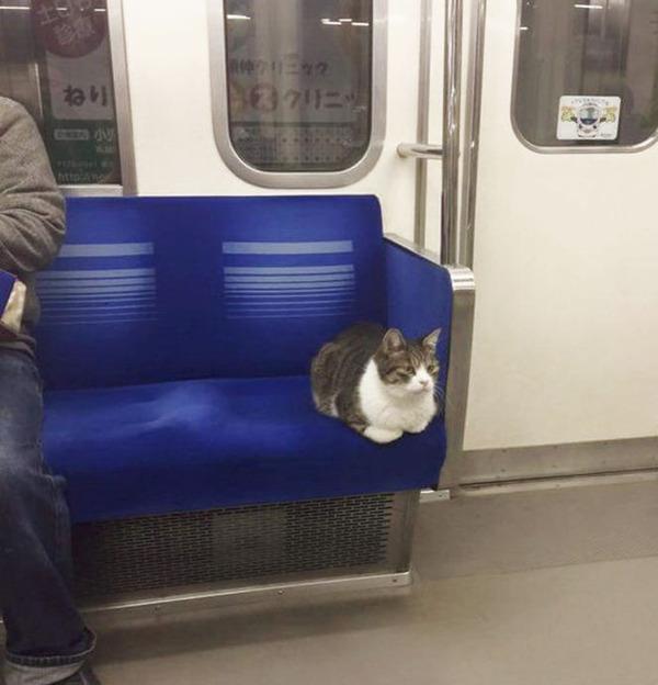 猫、ついに地下鉄電車の乗り方を憶える!猫画像 (5)