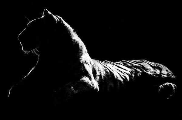 アウトラインとシルエットが美しい白黒の動物写真 4
