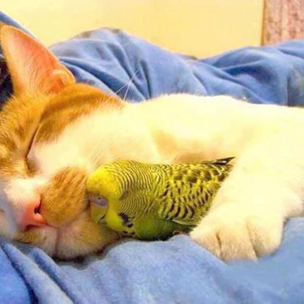 猫とパラキートのお昼寝 2