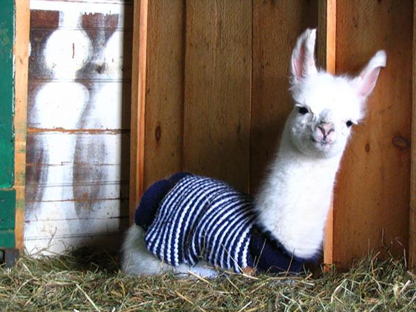 寒いからニットのセーターを小動物に着せてみた画像 (22)