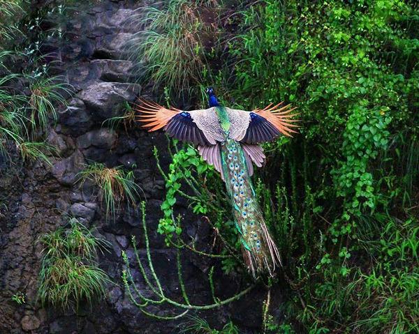 孔雀が飛ぶ姿が神々しすぎる…!空飛ぶクジャクの画像 (1)