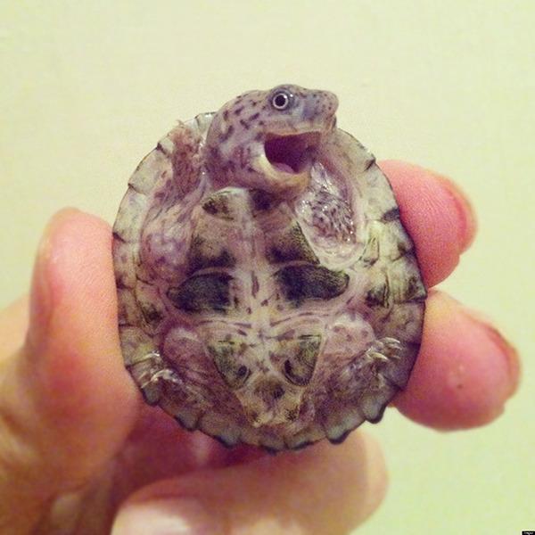 のんびり生きる亀可愛い!小さなカメから大きいカメまで亀画像 (2)