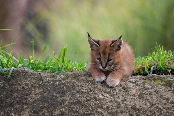 カラカルの画像!麻呂眉と耳の房毛が特徴的なネコ科動物 (7)