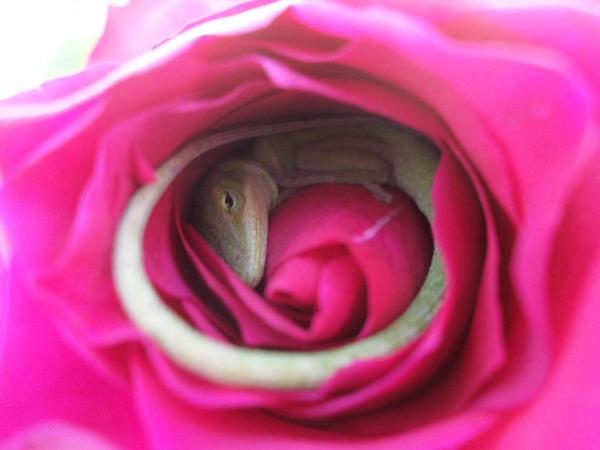 優しい世界。薔薇の花びらの中で眠るトカゲの画像! (3)