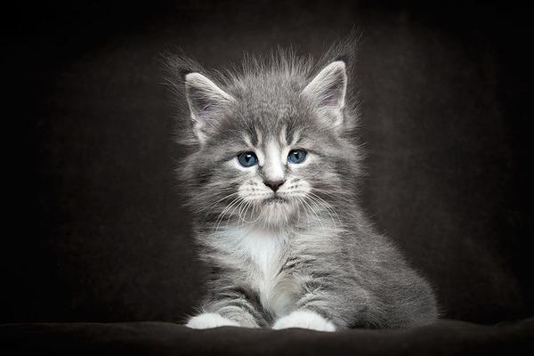メインクーン画像!気品ある毛並みに威厳ある風貌の猫 (22)