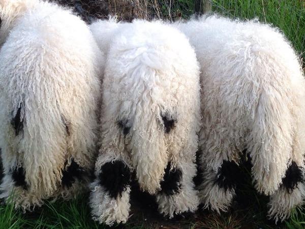ヴァレーブラックノーズシープ!モフモフな羊 (18)