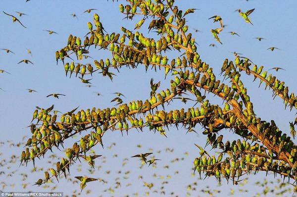 8万羽のセキセイインコの群れをオーストラリアの内陸で観測! (5)