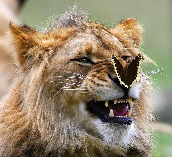 蝶とライオン