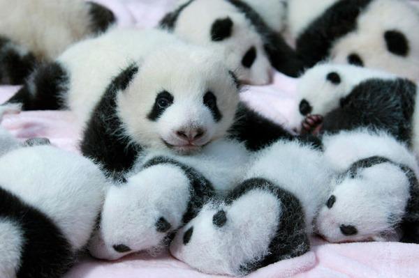 かわいいジャイアントパンダの画像 16