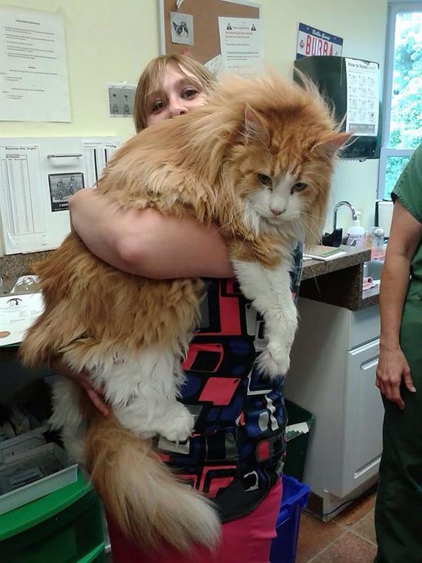 でかすぎる!大型のイエネコ長毛種メインクーン画像【猫】 (53)