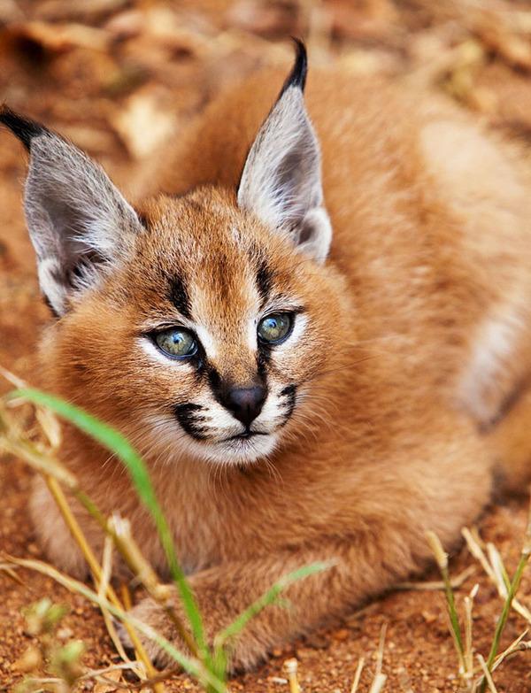 カラカルの画像!麻呂眉と耳の房毛が特徴的なネコ科動物 (23)