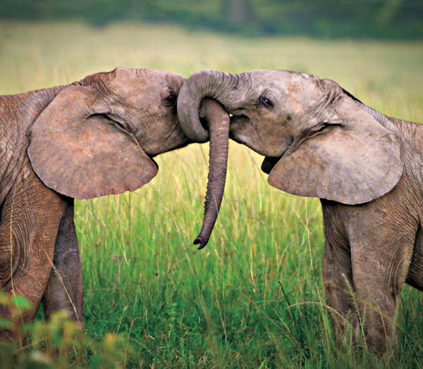 アフリカゾウの愛