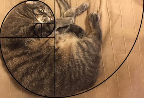 猫と黄金比の関係画像!猫の美しさの秘訣は黄金比にあり (12)