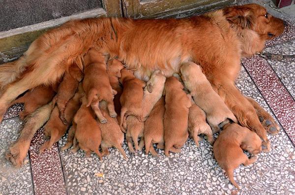 お母さん犬とその子犬達のソックリ集合写真!犬親子画像 (21)