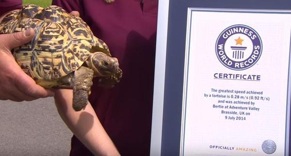 このカメ、速いぞ!世界最速の亀がめでたくギネス更新 (2)