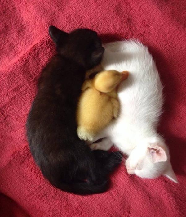 黒猫と白猫どっちが好き?どっちも可愛すぎ【猫画像】 (18)