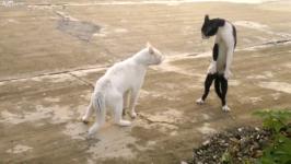 コイツできる…!二本足で直立してファイティングポーズをとる猫
