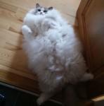 綿菓子みたいにフワフワ!モフモフしたくなる長毛種の猫画像