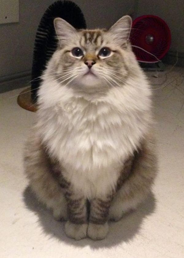 綿菓子フワフワ!モフモフしたくなる長毛種の猫画像 (44)