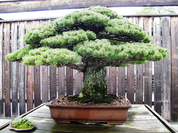 樹齢390年