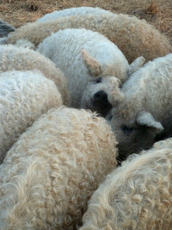羊みたいな体毛を持った豚『マンガリッツァ』。モフモフ! (23)