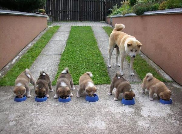 お母さん犬とその子犬達のソックリ集合写真!犬親子画像 (9)
